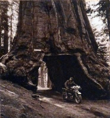 Wawona Tunnel Tree image. Click for full size.