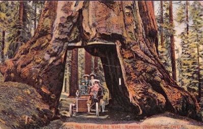 <i>Big Trees of the West - Wawona (Diameter 27 ft.)</i> image. Click for full size.