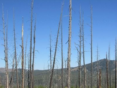 Wildfire Damage in Yellowstone image. Click for full size.