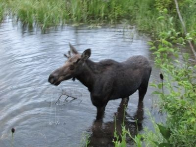 Bull Moose image. Click for full size.