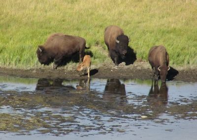 Bison Cow and Calf image. Click for full size.