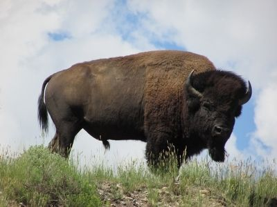 Yellowstone Bison image. Click for full size.