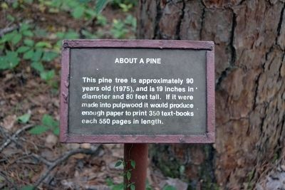 About a Pine Interpretive Sign image. Click for full size.