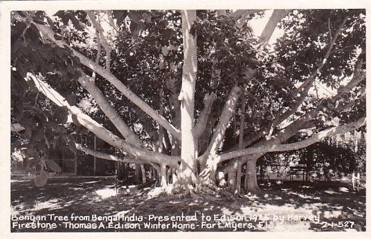 <i>Banyan Tree from Bengal, India • Presented to Edison 1925 by Harvey Firestone...</i> image. Click for full size.
