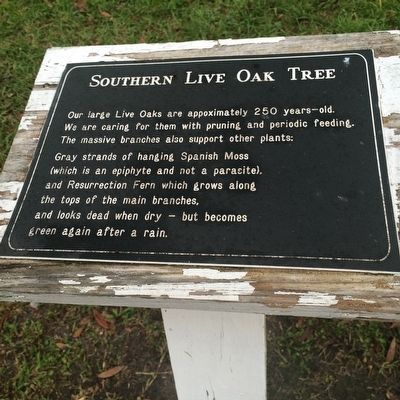 Southern Live Oak Tree Marker image. Click for full size.