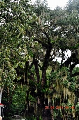 Southern Live Oak Tree image. Click for full size.