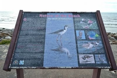 The Birds of Galveston Marker image. Click for full size.