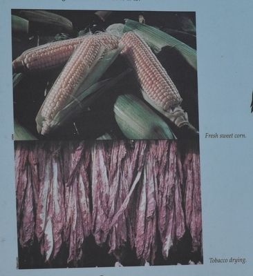 Fresh sweet corn & Tobacco drying. image. Click for full size.