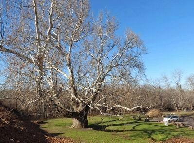 The Pinchot Sycamore continues to grow. image. Click for full size.