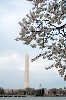 Cherry Blossoms image. Click for full size.