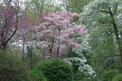 Flowering Redbud and Dogwood Trees image. Click for full size.