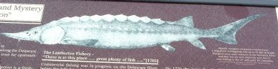 Atlantic sturgeon (Acipenser oxyrhyncus), image. Click for full size.