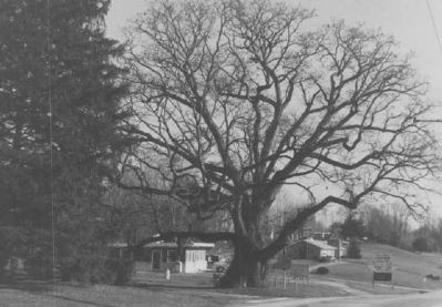 Richards Oak in 1981 image. Click for full size.