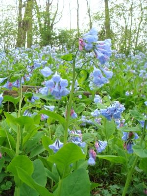 Field of Virginia Blue Bells on Wimpys Lane image. Click for full size.