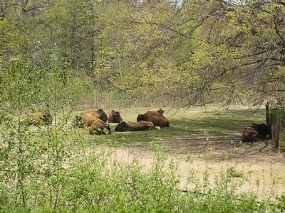 Bison at the Bronx Zoo image. Click for full size.