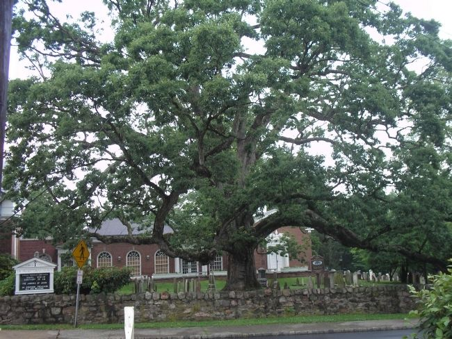 600 Year Old Oak Tree image. Click for full size.