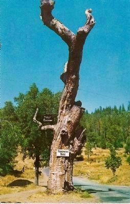 Vintage Postcard of The Hangman's Tree <br>(Site of many executions) image. Click for full size.