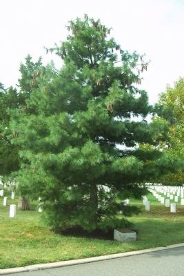 Montford Point Marines marker and memorial tree image. Click for full size.