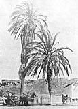 Serra Palm image. Click for full size.