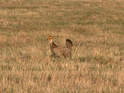 Prairie Chicken Booming image. Click for full size.