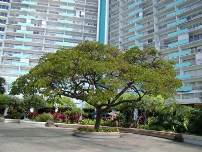 The Chinn Ho Tree in the Patio of the Ilikai image. Click for full size.