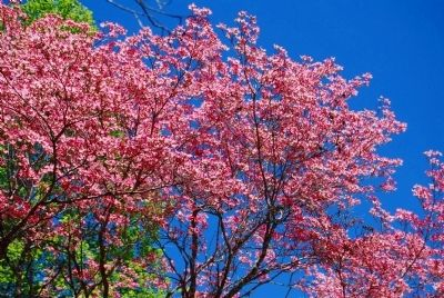 Springtime Dogwood Blooms image. Click for full size.