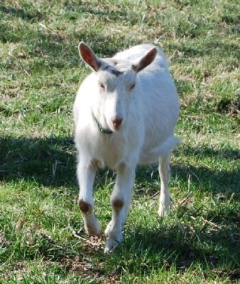 Emerald Farm -<br>One of the Farm&#39;s Saanen Goats image. Click for full size.