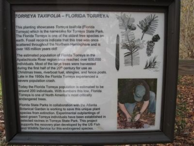 Torreya Tree Marker Informative Sign image. Click for full size.