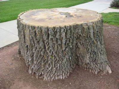 White Ash Tree Stump image. Click for full size.