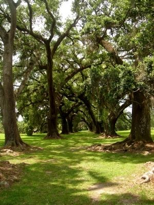 Live oaks across the road from Sacred Heart image. Click for full size.