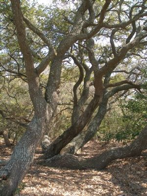 Beach Oak image. Click for full size.