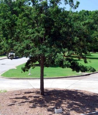 J. Strom Thurmond Centennial Tree and Marker image. Click for full size.