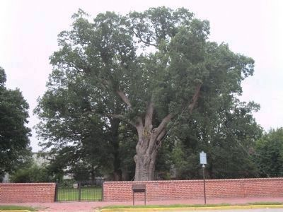 Marker and the Salem Oak Tree image. Click for full size.