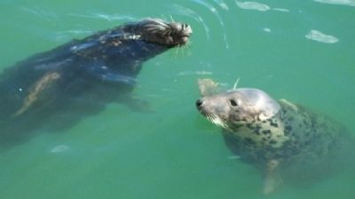 Howth Harbour Seals image. Click for full size.