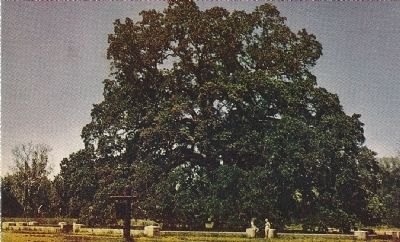 Hooker Oak image. Click for full size.