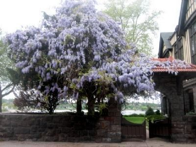 The Civic Club of Harrisburg garden gate, crowned with wisteria. image. Click for full size.