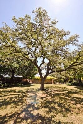 The Oak Tree image. Click for full size.