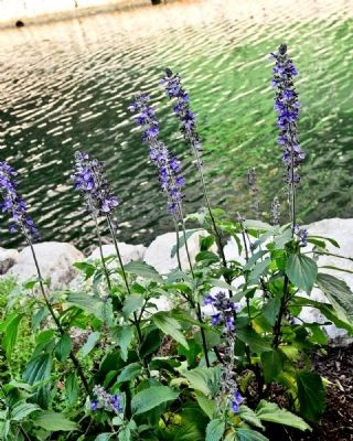Wild Flowers Thrive along the San Antonio River Walk image. Click for full size.