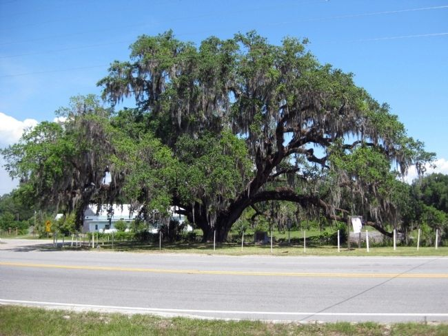 The majestic Volusia Oak image. Click for full size.