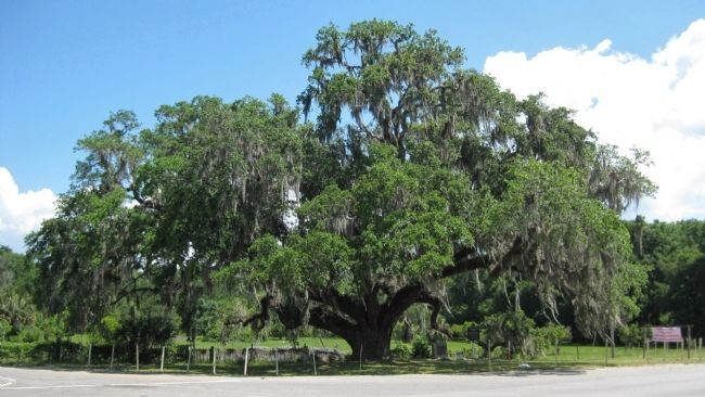 The Volusia Oak image. Click for full size.