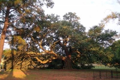 The Emancipation Oak image. Click for full size.