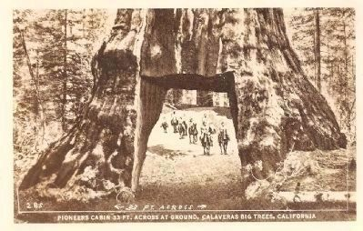 The Pioneer Cabin Tree image. Click for full size.