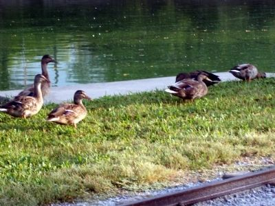 Enjoy the Ducks & Other Water Fowl . . . ! image. Click for full size.