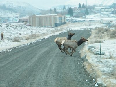 Young elk playing around near Gardiner, MT and park entrance image. Click for full size.
