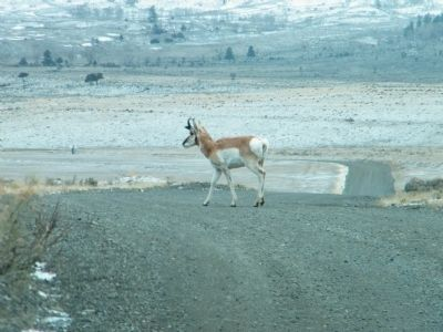 Male Pronghorn Antelope near entrance to park image. Click for full size.