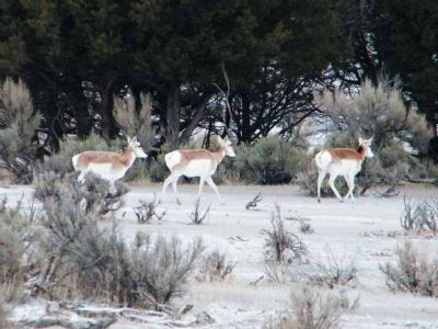 Small herd of pronghorn antelope near entrance to park image. Click for full size.