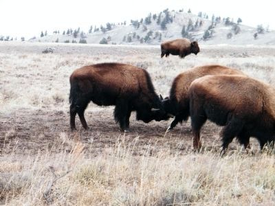 Two young Bison (i.e. Buffalo) playing image. Click for full size.