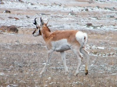 Male Pronghorn Antelope image. Click for full size.