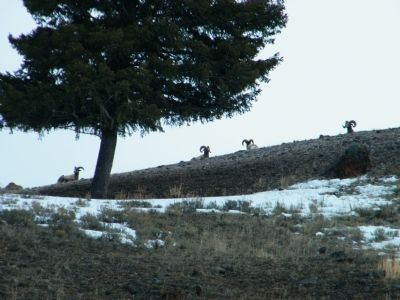 Herd of Bighorn Sheep on hillside image. Click for full size.
