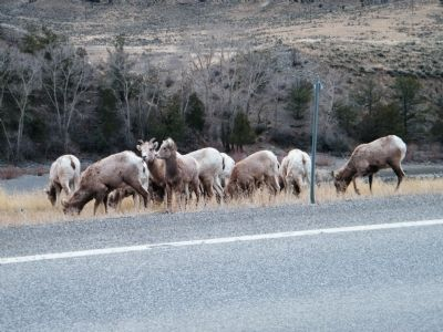 Herd of Bighorn Sheep by roadside image. Click for full size.